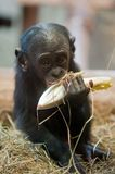 Cute baby Bonobo monkey. (Pan paniscus royalty free stock photo