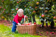 Cute baby boy picking fresh apples from tree Stock Photos