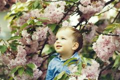 Cute baby boy among pink blossoming flowers. Cute happy baby boy, little child, with blond hair in blue shirt smiling among pink blossoming flowers and green stock photos