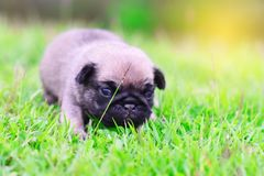Cute baby brown Pug on grass. Cute baby brown Pug 3 weeks playing alone on grass royalty free stock image
