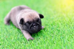 Cute baby brown Pug on grass. Cute baby brown Pug 3 weeks playing alone on grass royalty free stock images