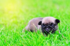 Cute baby brown Pug on grass. Cute baby brown Pug 3 weeks playing alone on grass royalty free stock photography