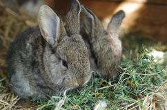 Cute baby Bunnies. Eating Stock Image