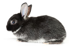Cute Baby Bunny. Cute black and white baby rabbit on white background Royalty Free Stock Photo