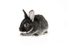 Cute Baby Bunny. Cute black and white baby rabbit on white background Royalty Free Stock Images