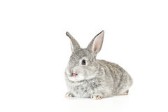 Cute Baby Bunny. Cute gray baby rabbit on white background Stock Image