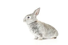 Cute Baby Bunny. Cute gray baby rabbit on white background Royalty Free Stock Image