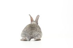 Cute Baby Bunny. Cute gray baby rabbit on white background facing away Stock Photo