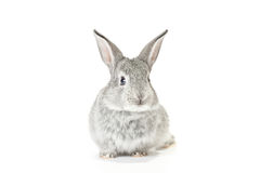 Cute Baby Bunny. Cute gray baby rabbit on white background Stock Images