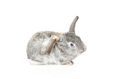 Cute Baby Bunny. Cute gray baby rabbit scratching its ear with its foot on white background Royalty Free Stock Images