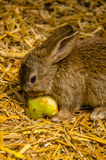 Cute Baby Bunny. Baby bunny eating an apple in a zoo Stock Image