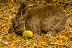 Cute Baby Bunny. Baby bunny eating an apple in a zoo Royalty Free Stock Photos