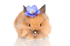 Cute baby bunny with a flower. Red little rabbit isolated on white Stock Images