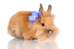 Cute baby bunny with a flower. Red little rabbit isolated on white Royalty Free Stock Photos