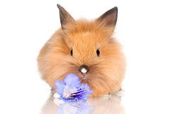 Cute baby bunny with a flower. Red little rabbit isolated on white Royalty Free Stock Images