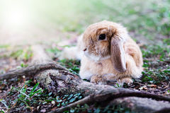 Cute Baby Bunny rabbit. Photo of cute baby bunny rabbit playing in the garden Royalty Free Stock Photos