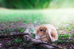 Cute Baby Bunny rabbit. Photo of Cute Baby Bunny rabbit playing in the garden Stock Images