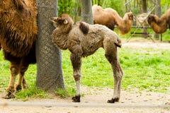 Cute baby camel Stock Photos