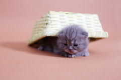 Cute baby cat Royalty Free Stock Image