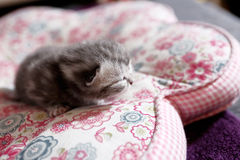 Cute baby cat, newly born Royalty Free Stock Image