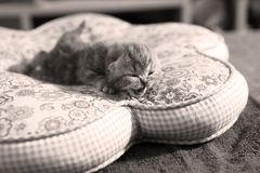 Cute baby cat, newly born Royalty Free Stock Photo