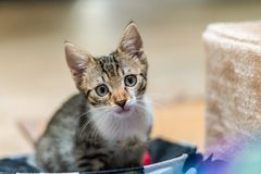 Cute Baby Cat Portrait At Home royalty free stock photo