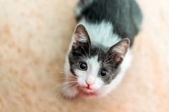 Cute Baby Cat Portrait At Home royalty free stock photos