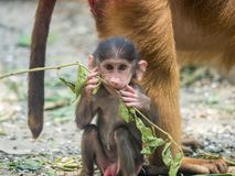 Cute Baby Chacma Baboon. Playing with branch Stock Images
