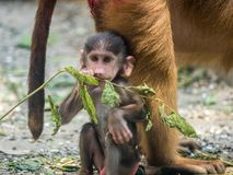 Cute Baby Chacma Baboon. Playing with branch Royalty Free Stock Image