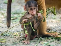 Cute Baby Chacma Baboon. Playing with branch Royalty Free Stock Images