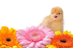 Cute baby chick Stock Images