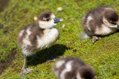 Cute baby chick. Egyptian goose gosling. Adorable baby animal. Cute baby chick. Egyptian goose Alopochen aegyptiaca gosling. Adorable baby animal on river bank Royalty Free Stock Image