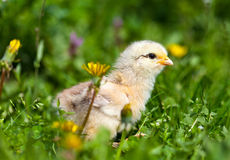 Cute baby chick in grass Royalty Free Stock Images