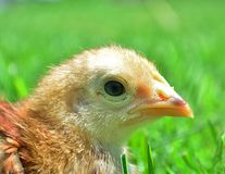Cute baby chick Stock Image