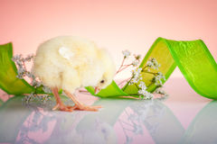 Cute baby chicken Stock Photo