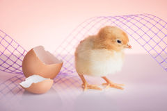 Cute baby chicken Royalty Free Stock Photo