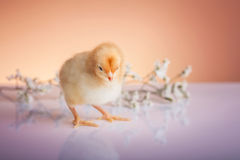 Cute baby chicken Stock Photos