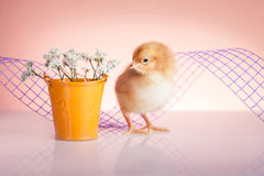 Cute baby chicken. Springtime with small cute chicken stock image