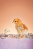 Cute baby chicken Royalty Free Stock Photos