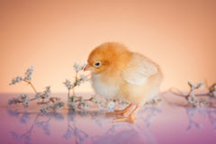 Cute baby chicken Royalty Free Stock Photography