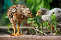 Cute Baby Chickens Stock Images