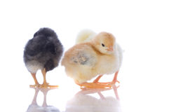 Cute baby chicks, Stock Images