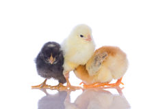 Cute baby chicks, Royalty Free Stock Image