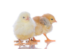 Cute baby chicks, royalty free stock photography