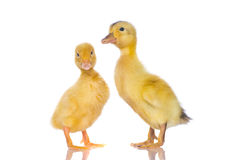 Cute baby chicks, royalty free stock images