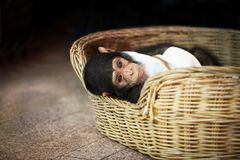Cute baby chimpanzee. New life of cute infant baby chimpanzee in the rattan basket Royalty Free Stock Image