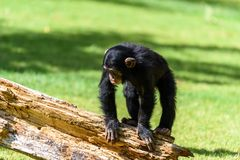 Cute Baby Chimpanzee. Portrait Of A Cute Baby Chimpanzee Stock Photography