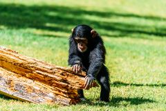Cute Baby Chimpanzee. Portrait Of A Cute Baby Chimpanzee Royalty Free Stock Images