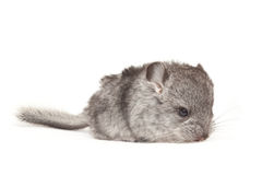 Cute baby chinchilla Royalty Free Stock Photo