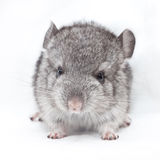 Cute baby chinchilla Royalty Free Stock Image